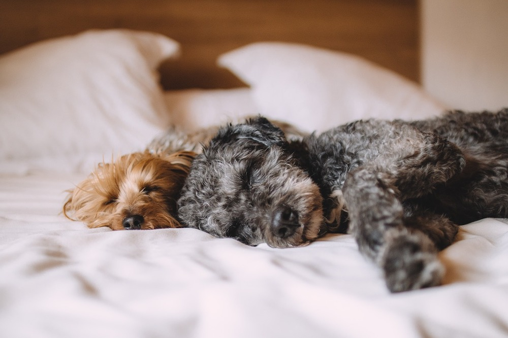 two small dogs sleeping on a bed